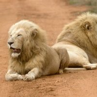 Sacred Journey to the White Lions - July 2017 in Timbavati, South Africa