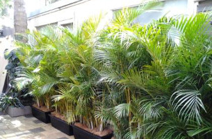 Rent A Garden Used Lush Golden Cane Palm Hedges To Screen The Fences And  Add Some Shape U0026 Colour To An Otherwise Dull Area.