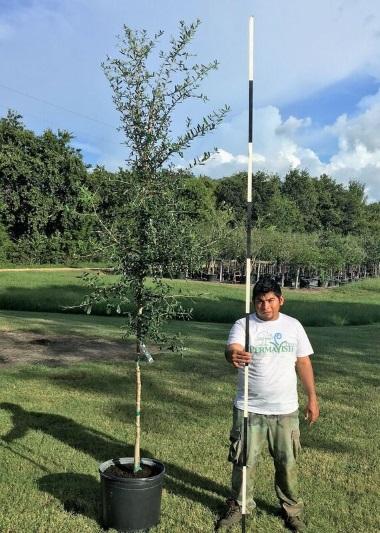 Tree Farm Tree Nursery Live Oaks Crepe Myrtles